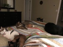 All 4 animals lounging on our bed